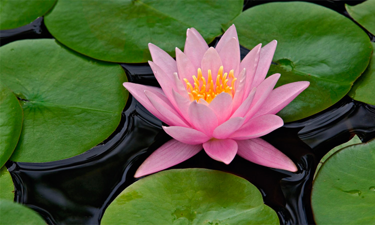 Pink Lotus Flower And Buddhism